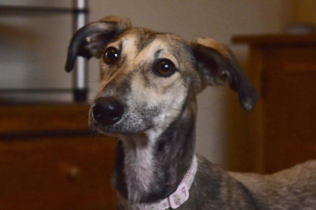 Dobby – 8 month old female Saluki cross Whippet dog for ...