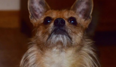 Apollo – 2 year old male Yorkshire Terrier cross Chihuahua · All Animal Rescue Southampton |