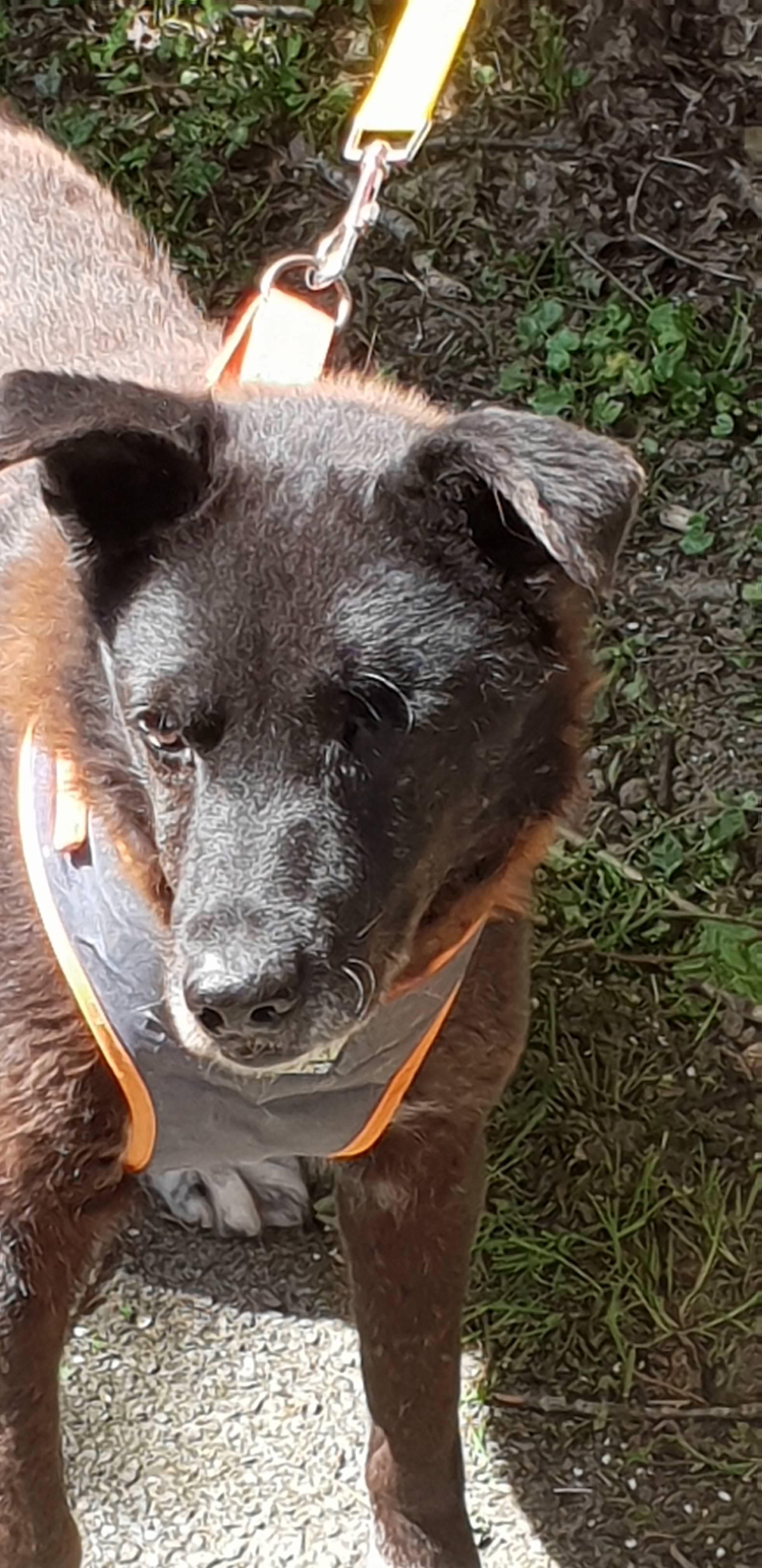 6bbd55398cb2 Benji (Sammy) – 6 year old male Cross-Breed dog for adoption