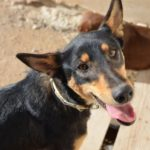 Jordy – 16 month old male Ibizan Hound (Podenco) Cross