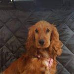 Truffle – 8 month old female English Cocker Spaniel