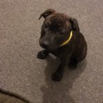 Wilbur – 6 month old male Stafforshire Bull Terrier