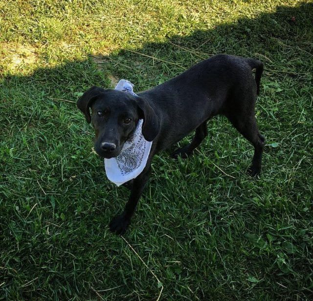 Ebony ? 8 month old female Labrador Cross