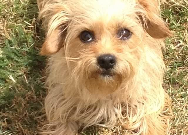 Pumpkin ? 4 year old female Yorkshire Terrier