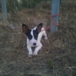 Ivy – 2 month old female Bodeguero (Spanish Jack Russell)
