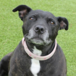 Mika – 11 year old female Staffordshire Bull Terrier