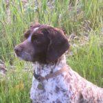 Loulou – 5 year old female Springer cross English Cocker Spaniel