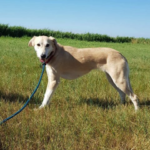 Ruby – 5-6 year old female Saluki cross