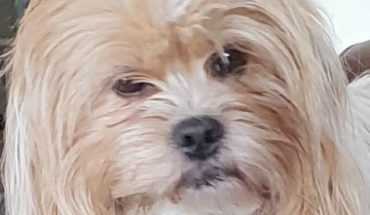 Shih Tzu Cross Dogs For Adoption And Rescue