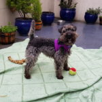 Nessy – 5 year old female Poodle cross Fox Terrier