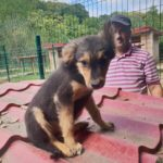 Dixie – 4 month old female Cross-Breed