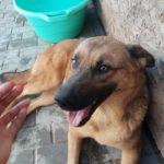 Gypsy – 2 year old female Cross-Breed