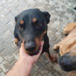 Kira – 4 year old female Rottweiler