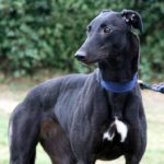 Pepper – 3 year old female Greyhound