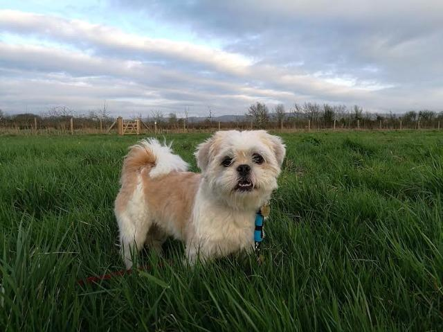 Shih Tzu Dogs For Adoption And Rescue