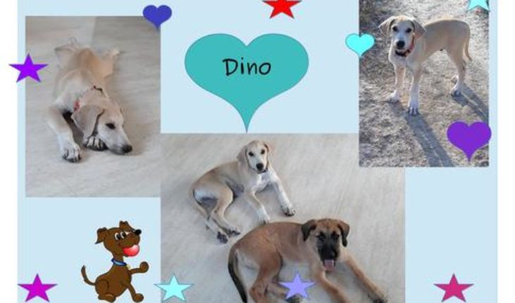 Dino – 4 month old male Lurcher Cross dog for adoption