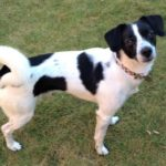 Brady – 2 year old male Pointer Cross