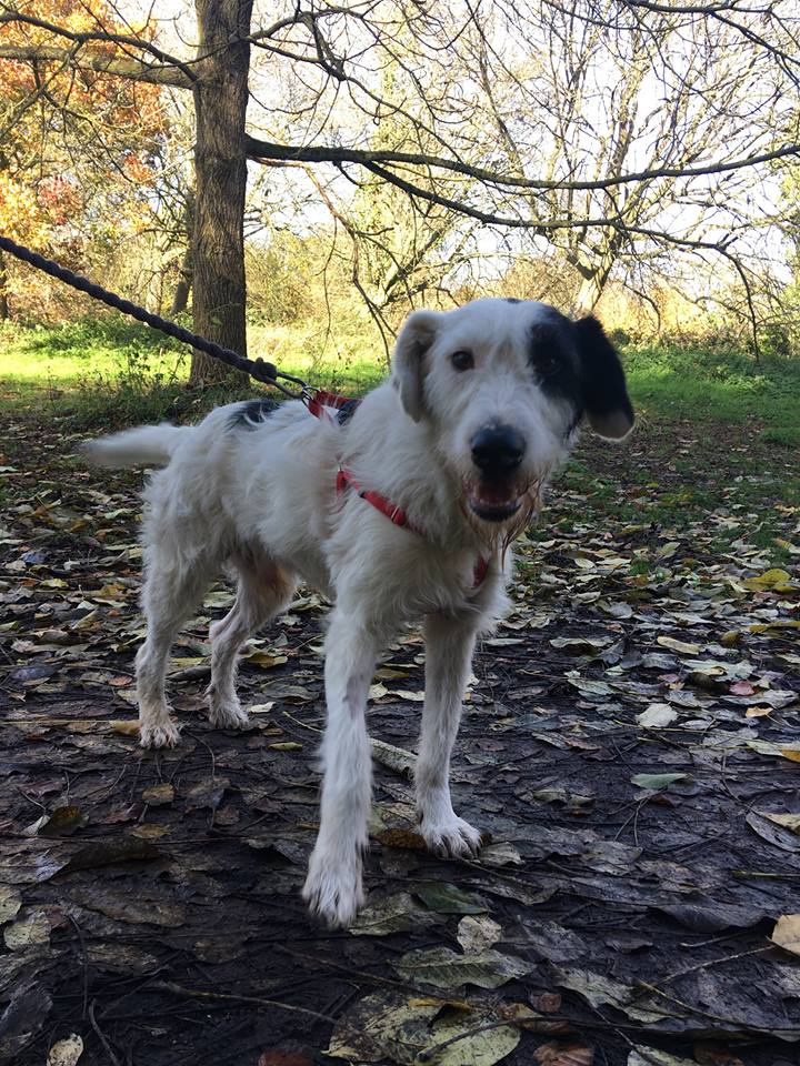 Collie Cross Dogs for Adoption and Rescue
