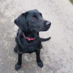 Hope – 8 month old female Springer cross Labrador