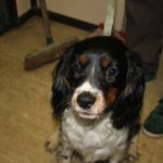 Ralphy – 9 month old male Cavalier King Charles Spaniel cross Springer