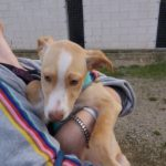 Roth – 3 month old male Ibizan House (Podenco) Cross