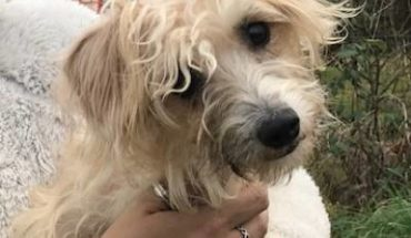 Yorkshire Terrier Cross Dogs For Adoption And Rescue