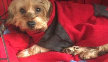 Yorkshire Terrier Dogs For Adoption And Rescue