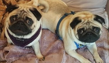 Pug Dogs For Adoption And Rescue