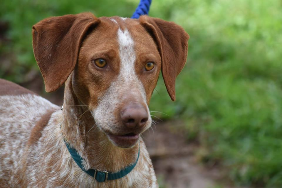 Pointer Cross Dogs For Adoption And Rescue