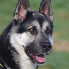 Husky Cross Dogs for Adoption and Rescue