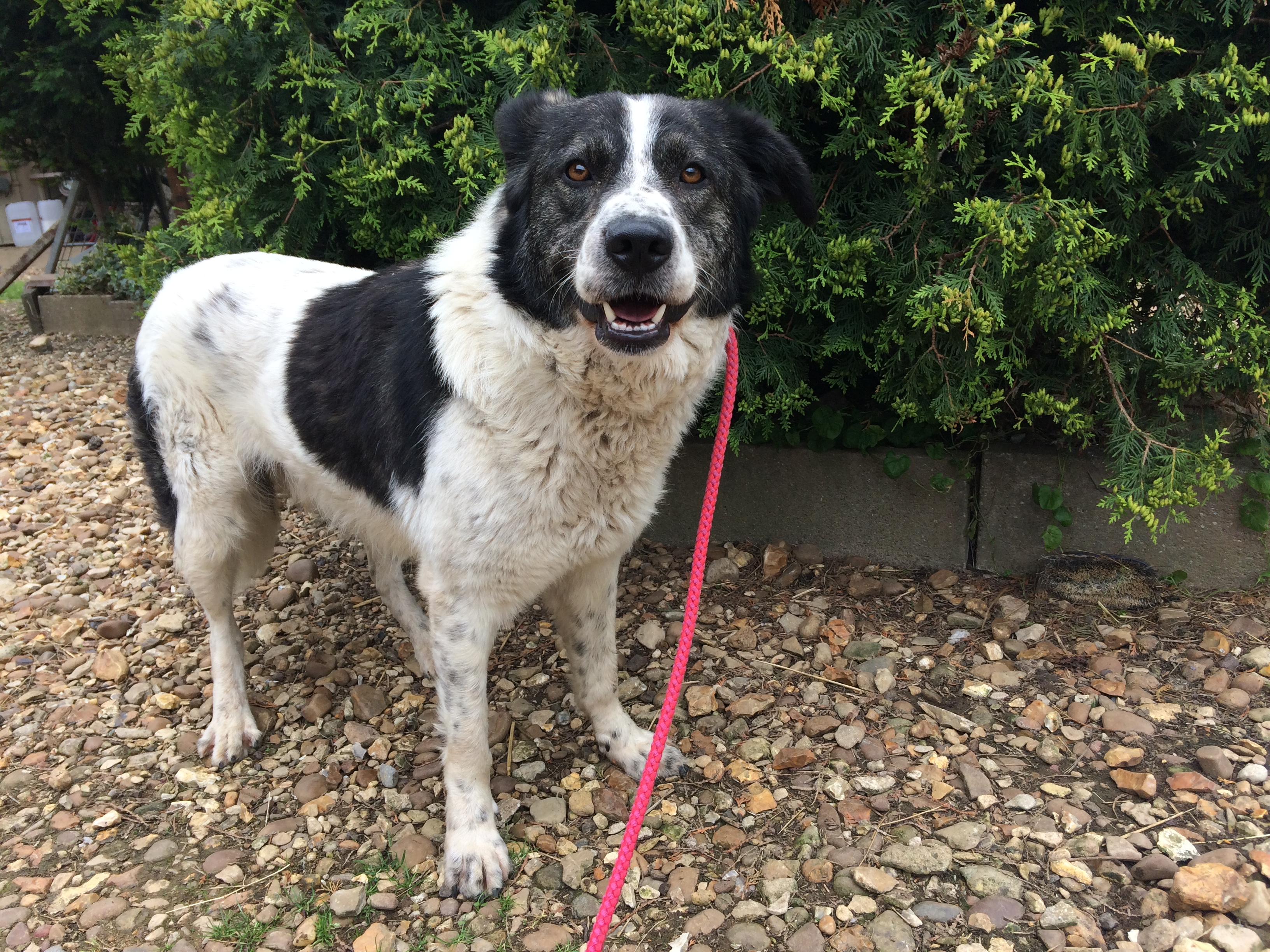 Dwayne Johnson 3 Year Old Male Cross Breed Available For