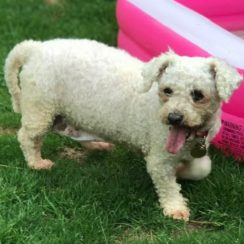 Bichon Frise Dogs for Adoption and Rescue