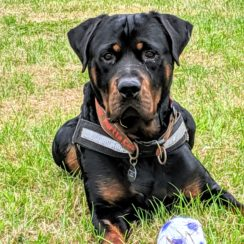 Posts by Rottie Friends Rescue Somerset | Dogs for Adoption