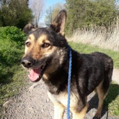 German Shepherd Cross Dogs for Adoption and Rescue
