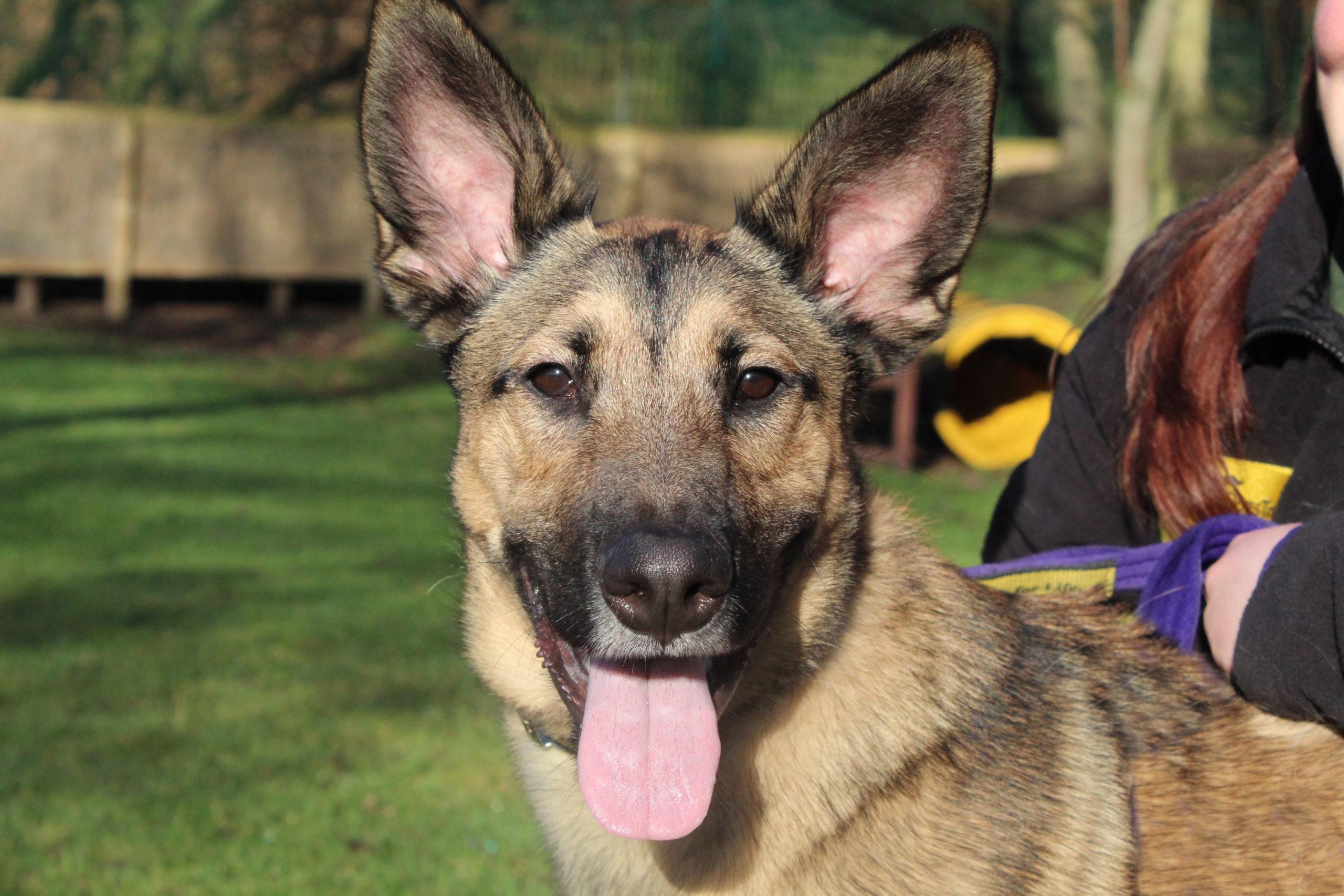 Belgian Shepherd Cross Dogs For Adoption